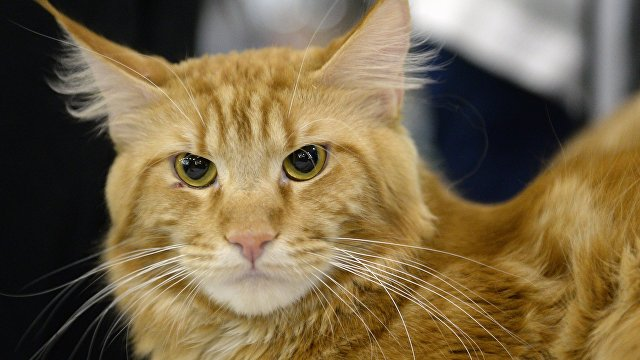 Рыжая кошка. Архивное фото